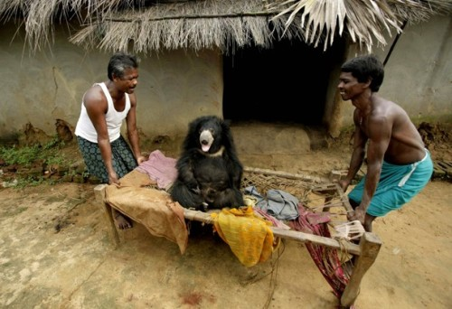 allcreatures:   Villagers move Buddu, a sloth bear, at a family's home in Lakhapada, 220 miles from Bhubaneswar, India. The wild bear, which was rescued from the family by wildlife officials, wandered into the village while following a herd of goats and had lived with the family ever since.  Biswaranjan Rout / AP (via Animal views - The Washington Post)   It's a sloth bear… Two of my favorite animals combined