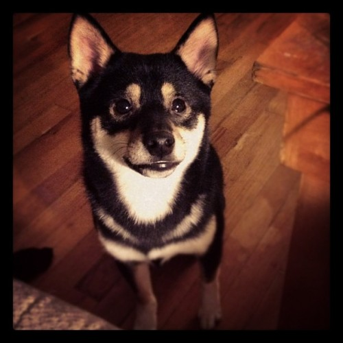 #shibainu #puppy #puppydogeyes  (Taken with Instagram)
