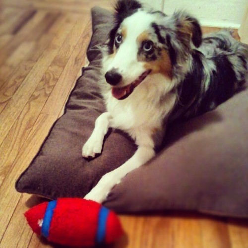 #riot #mini #Australian #shepherd #Aussie #dog #cutie #holeontoyalways #monster #toykiller   (Taken with Instagram at The ARK)