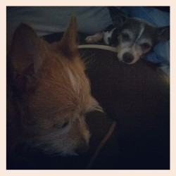 Cheech is making sure Roxie is okay after her surgery. Brother & Sister! (Taken with Instagram)