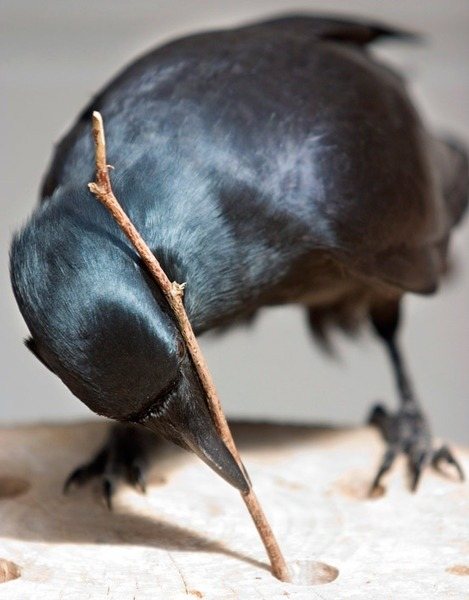 "luellaloves:   Called ""feathered apes"" for their simian like smarts, crows use tools, understand physics, and recognize themselves and humans. But new research suggests that the brainy birds may be even smarter than was previously thought. Given a complex problem and an assortment of tools, New Caledonian crows came up with a creative solution that hints at higher-order thinking.  Birds are so neat."