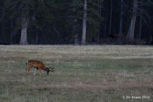 Young buck grazing in the 8000' + altitude highlands of Yosemite National Park