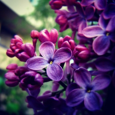 #lilac #spring #macro #macrogardener #nature #canoneos600d  #50mm #violet #pink #colors #garden #closeup #photo #flower #bush #tree #flora (Taken with Instagram)