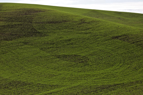 mpdrolet:  Wheat, Washington, 2011 Neal Rantoul
