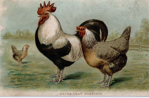 jomobimo:  Dorking Chicken by profkaren on Flickr. silver grey dorkings