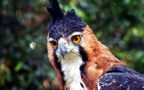 Ornate Hawk Eagle You can have summa dat purple if you want.