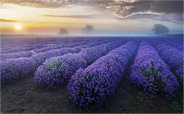 Lavender Dawn by Sandra OTR on Flickr.