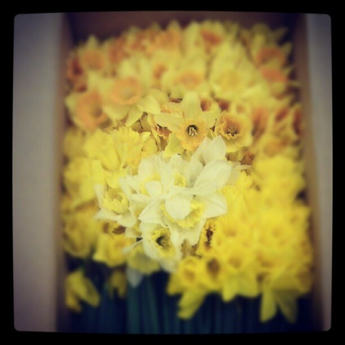 Ready for day two. #daffodil #day #fightcancer (Taken with Instagram at hell on earth)