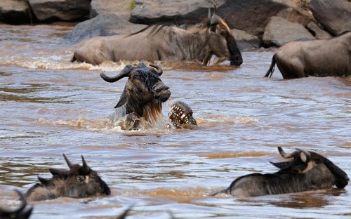 funnywildlife:  A wildebeest is attacked by crocodiles in the Mara river during the annual mass migration across the croc-infested river, from Tanzania to Kenya, in the Maasai Mara by Paolo Torchio / Barcroft Media
