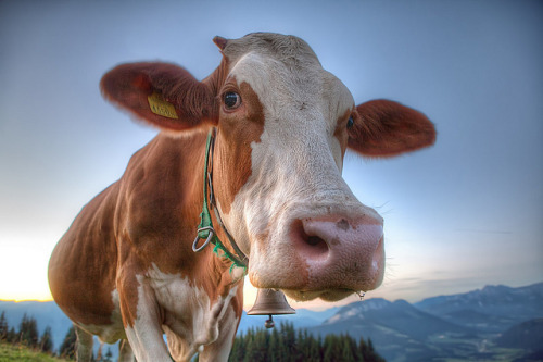 Austrian Cow | Flickr - Photo Sharing! @flickr.com By murphyz