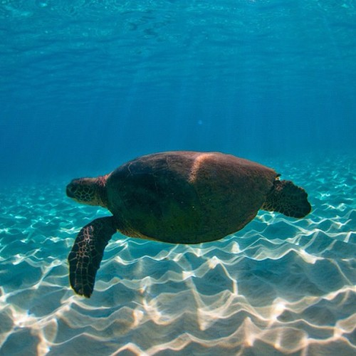 #sea #turtle #seaturtle #hawaii #pacific #ocean #beautiful #creature #amazing #wildlife #underwater #sea #amazing #blue #beautiful (Taken with Instagram)