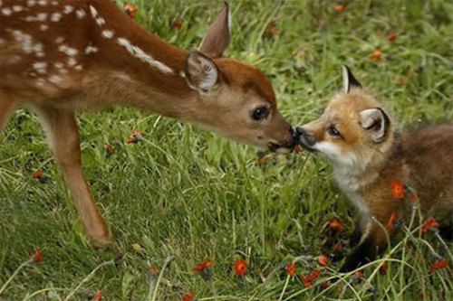 archiemcphee:  Howard Penn photographed this incredibly cute fawn appearing to smooch an equally adorable fox kit in a field of hawkweed in Minnesota back in June 2007. What an awesome little moment.