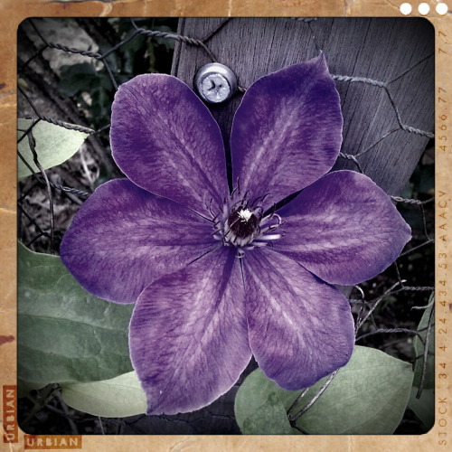 Clematis….photographed with Retro Camera for Android © Copyright Colleen G. Drew