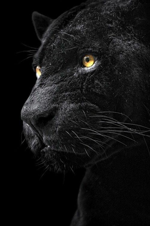 nonconcept:  Black panther.