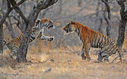 funnywildlife: magicalnaturetour:  An old tiger (left) is confronted by a younger, stronger tiger over a sambar deer kill. The tiger population of India is facing 'total disaster' due to tourism ban.  Photograph: Chris Brunskill/Rex Feature via The Guardian :)