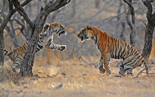 An old tiger (left) is confronted by a younger, stronger tiger over a sambar deer kill. The tiger population of India is facing 'total disaster' due to tourism ban.  Photograph: Chris Brunskill/Rex Feature via The Guardian :)