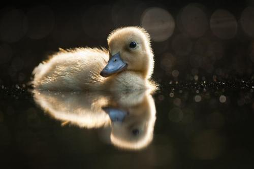 harvestheart:  Little Quacker