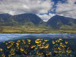 moreanimalia:   Schooling raccoon butterflyfish (Chaetodon lunula) beneath the coastline of West Maui, Hawaii Photograph: David Fleetham/Bluegreen / Rex F/Rex Features