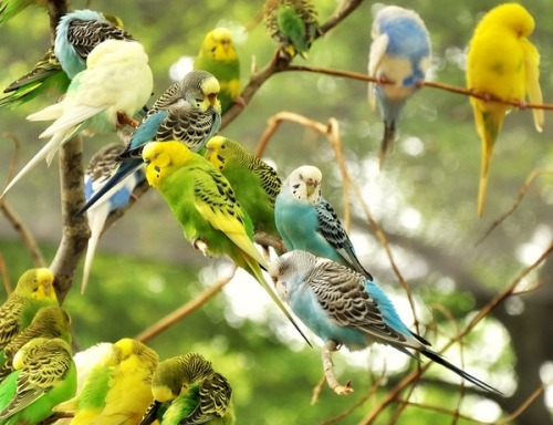 fairy-wren:  budgerigars (photo by halex)