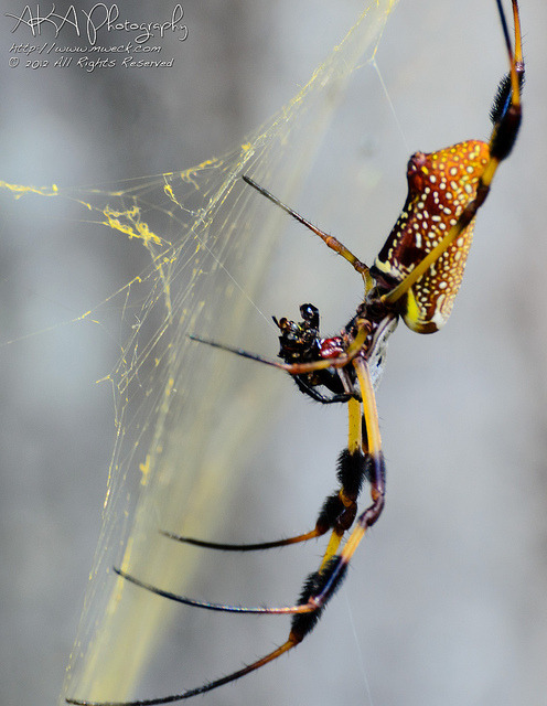 Banana Spider on Flickr.