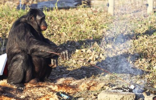 Meet the Fascinating Food Cooking Chimpanzee | PIXIMUS.net @piximus.net