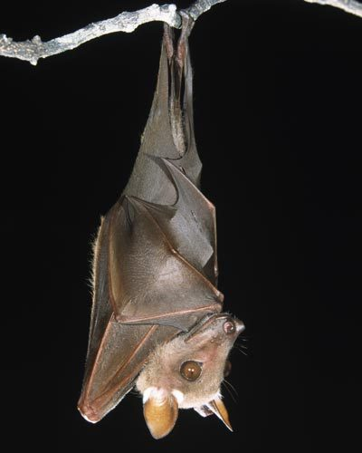 newaya:  Hanging bat.