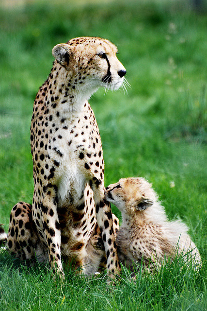tigersandcompany:  Cheetah & cub (by Daysleeper40)