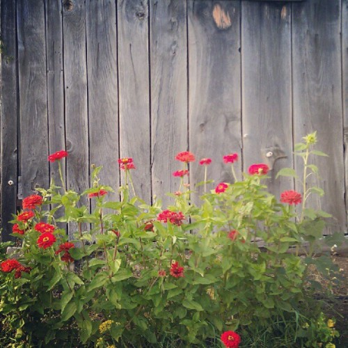 Zinnia (Taken with Instagram)