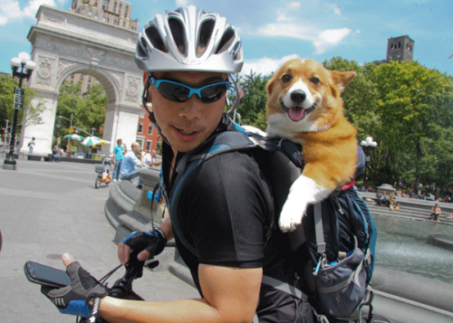 corgiaddict:   A cyclist, with his pooch in his backpack, paused to check his smartphone in Washington Square. Maybe he was trying to locate the dog run.  THIS MUST BE SHARED WITH THE WORLD! submitted by chubby