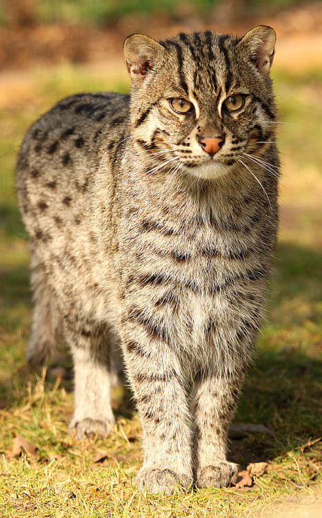 Fishing Cat (by TenPinPhil)