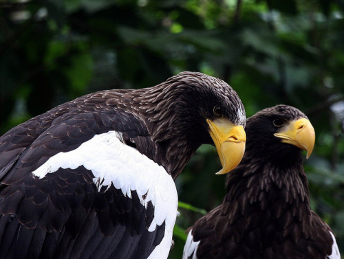thepredatorblog:  Steller's sea eagles (by dfg photography)