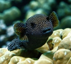 earthlynation:  guineafowl pufferfish by source
