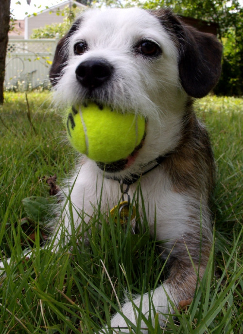 "Terrier Is First Canine Ball Boy at U.S. Open A Jack Russel Terrier named Linus made history this week as the first dog to serve as ball boy for the U.S. Open tennis tournament in Queens, NY. ""It's a great day for dogs and sports fans everywhere,"" says Mallory Buitron, a canine rights advocate. ""Next up, Augusta National Golf Club."" Via Chris Martin."