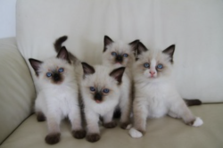 m-on-chaton:  pisn:  pale ◕。◕  kittiessss