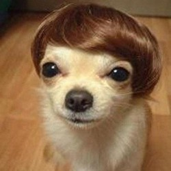 Oooh! I need this lil wig for Cooley so he can be Justin Beiber for Halloween🎃👻!!! #instapets #lol #cute #halloween #petcostumes #chihuahua #pomchi (Taken with Instagram)