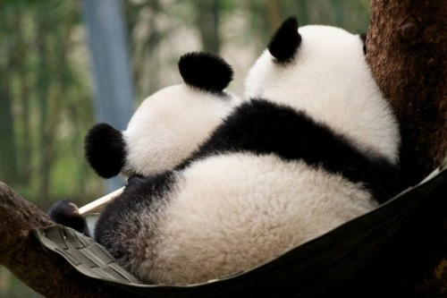 really cute panda photo!