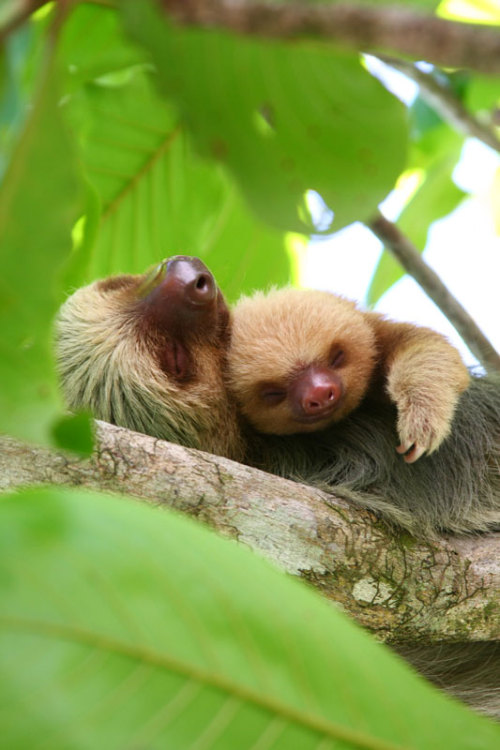 Sleepy sloths.