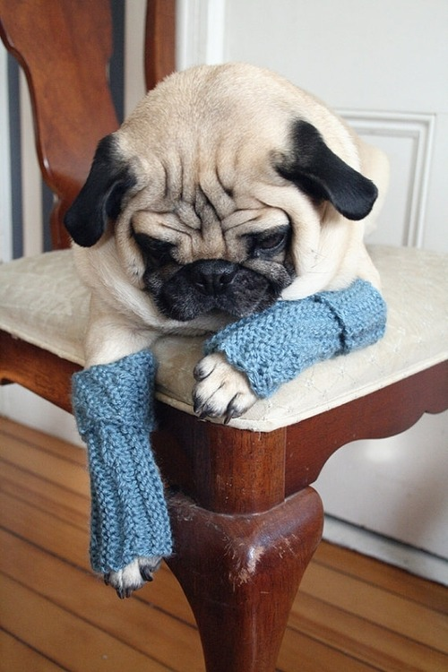 sidonia-nistor:  Pugs have cold feet too -This photo was discovered by my lovely friend, Beth