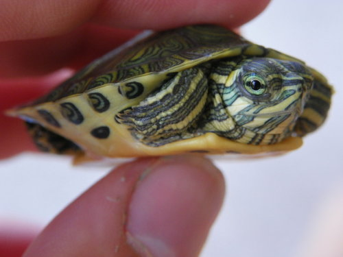 Turtle by ~Taylor-Grace