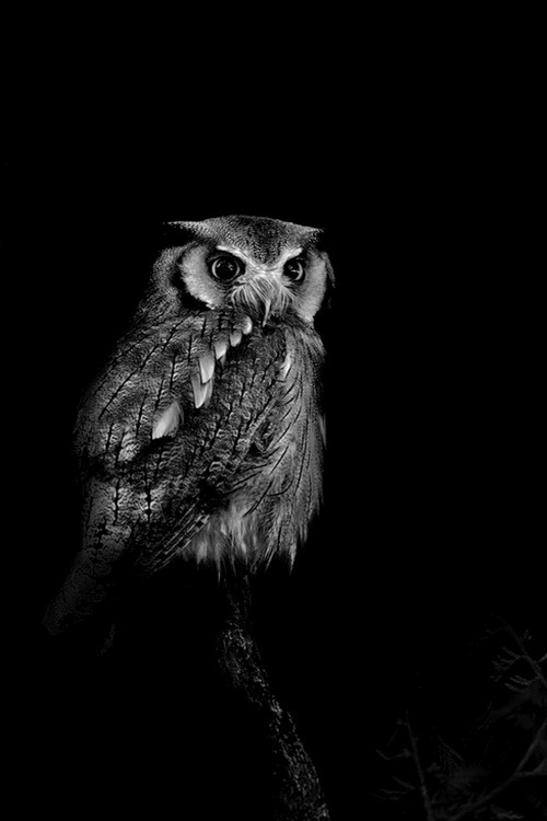 owl guards the dark