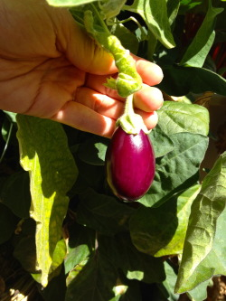 Baby Eggplant The deep purple color in the sunlight is gorgeous!