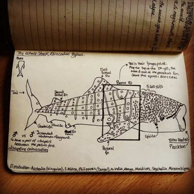 mad-as-a-marine-biologist:  sallysnowglobe:  My little whale shark… x Taken with Instagram  Sally come back to me soon. I need your little drawings in my life.