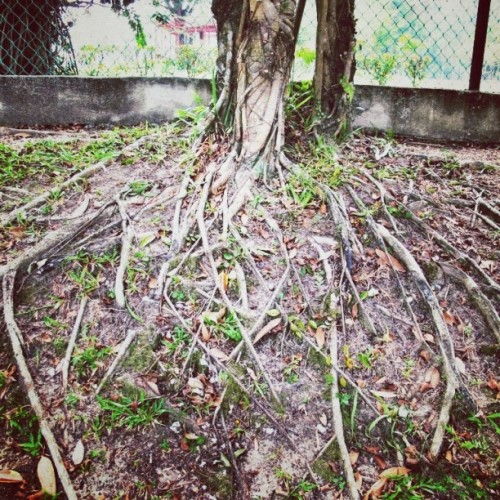 盤根錯節 #roots #plant #nature #tree  (Taken with Instagram)