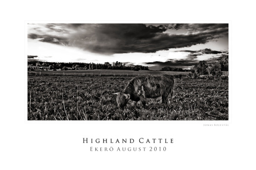 Affisch Highland cattle 70x50 cm Photo and editing: Jonas Röjestål