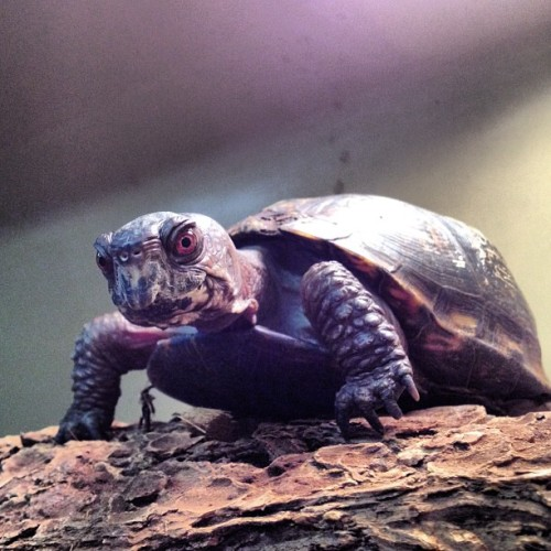 Star, Queen of Box Turtles (Taken with Instagram at Tenafly Nature Center)