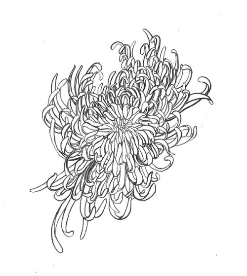 Lotte Hobbs, Black Chrysanthemum. Ink on paper.