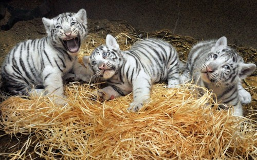 theanimalblog:  Three white Bengal tiger cubs, born on July 1, are seen at Liberec Zoo, Czech Republic Picture: Radek Petrasek/AP  I've always loved white tigers.  I want to take the one on right home with me.