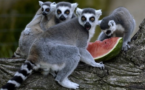 tumblr m9dknd5Gbx1qzya49o1 500 Lemurs eat watermelon to cool off at Rome's Bioparco...