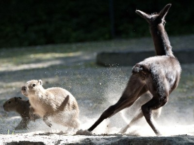 Baby llama Pippa plays with capybaras in their enclosure at the zoo in Hanover, central Germany Picture: Emily Wabitsch/AFP/GettyImages