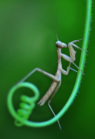 "magicalnaturetour:  ""Mantis"" by Mustafa Öztürk"
